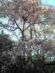 播磨中央公園シダレ桜