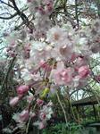 播磨中央公園シダレ桜(アップ)