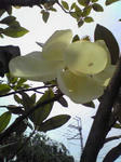 タイサンボクの花が開花!