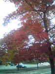 播磨中央公園の紅葉した楓