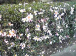 播磨中央公園の山茶花(薄ピンク)