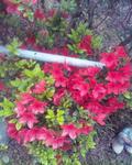 霧島(赤)