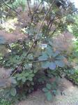 菖蒲園のスモークツリー