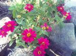 自宅花壇の花(ピンク)