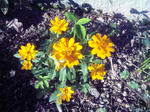 自宅花壇の花(黄色1)