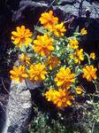 自宅花壇の花(黄色2)