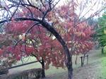 播磨中央公園の紅葉した木