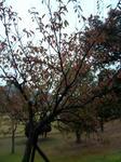 播磨中央公園の紅葉した木2