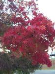 播磨中央公園のモミジ1