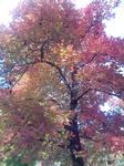 播磨中央公園の楓の紅葉