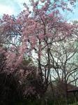 桜の園・枝垂桜