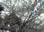 桜の園以外の桜
