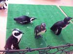 神崎農業公園のペンギン