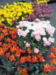 花回廊 チューリップ1