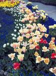花回廊 チューリップ2
