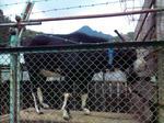 夢館のヤギ(横)