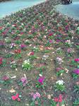 播磨中央公園の花壇