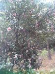 播磨中央公園四季の庭の山茶花