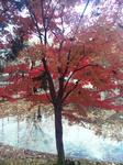 播磨中央公園四季の庭のモミジ