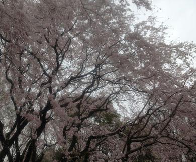 shidaresakura1.jpg