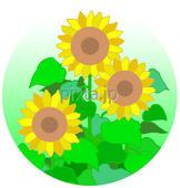 ひまわり・ヒマワリ・向日葵・夏の花・夏の植物