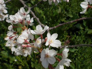 sakura2008b.jpg