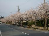 駅前道路の桜並木