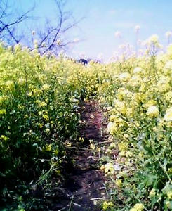 画像:高倉菜の花畑