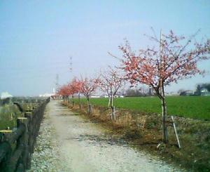 画像:すみよし桜の里