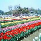 画像:あけぼの農業公園チューリップ