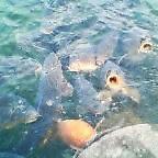 画像:ひ鯉
