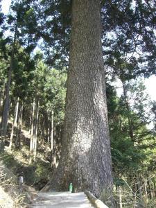 画像:モミの木