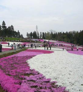 画像:芝桜