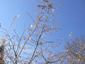 画像:城峯公園 寒桜