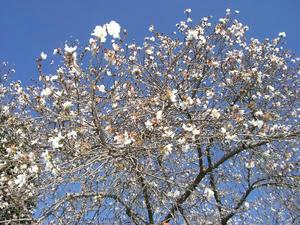 画像:歯医者さんの寒桜