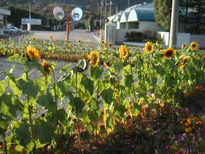 画像:向日葵