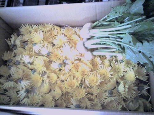 食用菊と株