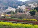 hanamiyama.005_001.JPG