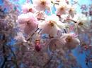 hanamiyama.017_001.JPG