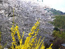 hanamiyama.034_001.JPG