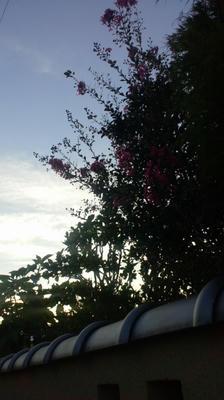 夕日とサルスベリ