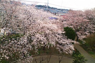 我孫子中の桜