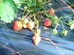 2009年イチゴ採り