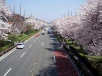 090407sakura-7.jpg