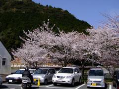 北九州は八幡付近の、河内貯水池という所の桜です