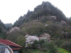 深耶馬渓周辺にて…桜が咲いてますね♪
