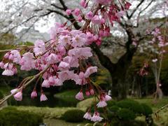 色が濃いめの桜も綺麗です