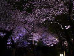 LEDでライトアップされた夜桜も綺麗♪