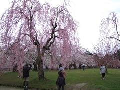 枝垂桜も良い感じ!