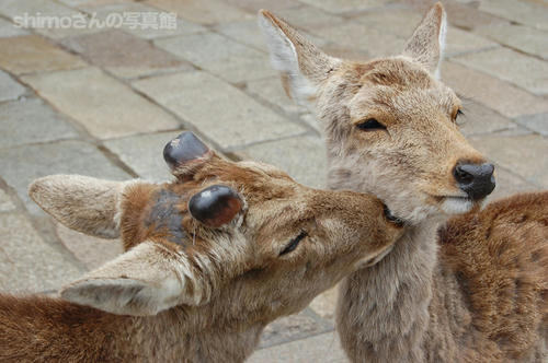 ラブラブな鹿